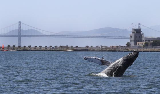 한 혹등고래가 4일 미국 캘리포니아 알라메다 앞 바다에서 솟구치고 있다.[AFP=연합뉴스]