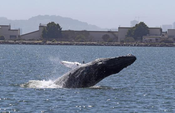 지난 4일 캘리포니아 알라메다 앞 바다에서 혹등고래가 솟구치고 있다.[AFP=연합뉴스]