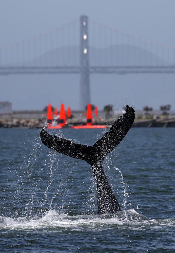 지난 5일 캘리포니아 알라메다 앞 바다에서 혹등고래가 솟구치고 있다.[AFP=연합뉴스]