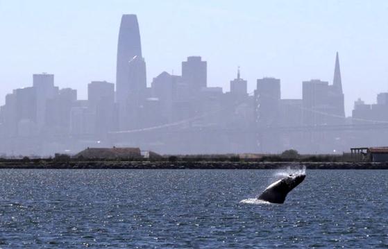 한 혹등고래가 4일 미국 캘리포니아 알라메다 앞 바다에서 솟구치고 있다. 뒤로 샌프란시스코 도심 스카이라인이 보인다. [사진 이스트베이 타임즈]