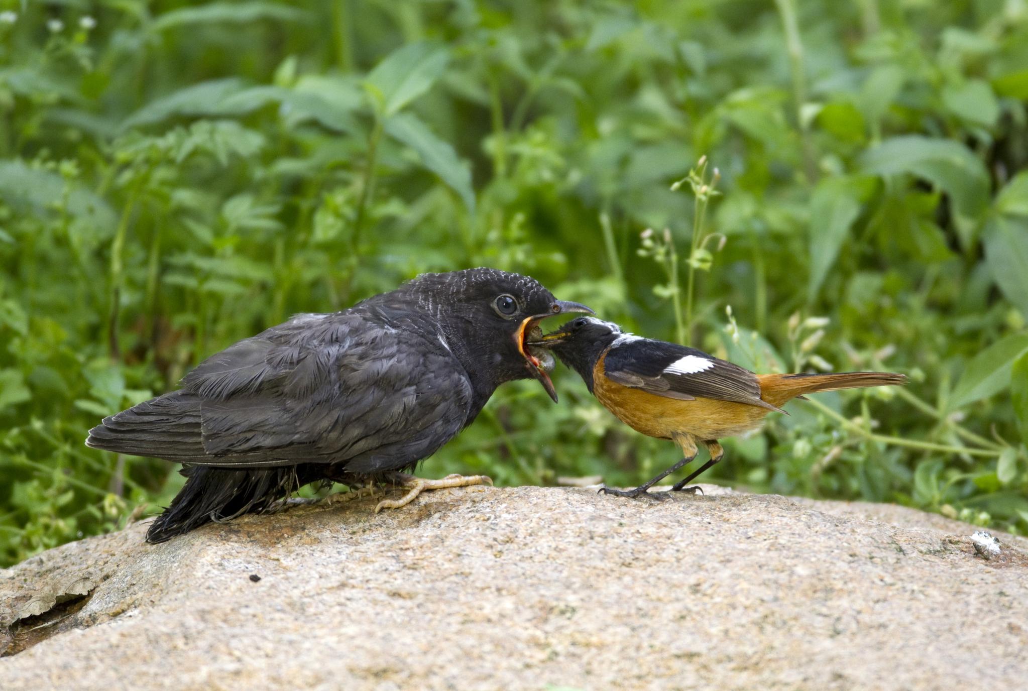수컷 딱새가 자신 보다 몸집이 훨씬 큰 어린 뻐꾸기에게 먹이를 먹이고 있다. 대리모인 딱새의 둥지에서 먼저 부화하는 뻐꾸기는 둥지 안의 딱새 알을 자신의 몸으로 밀어내 제거한 뒤 둥지를 독차지하며 자란다. 둥지를 벗어난 어린 뻐꾸기는 독립해서도 한동안 대리모의 보살핌을 받는다. 탁란은 뻐꾸기를 비롯한 두견이과의 독특한 종족번식 방식이며 이들은 자신이 직접 자식을 키우지 않고 딱새, 뱁새, 개개비, 휘파람새 등 자신보다 몸집이 훨씬 작은 새의 둥지에 침입해 알을 낳는다. [중앙포토]