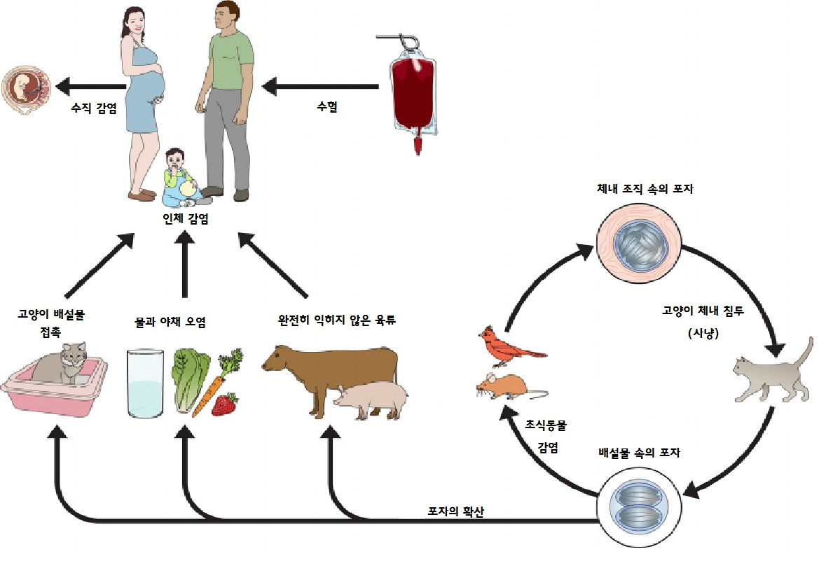 톡소플라스마 원충의 감염 경로.