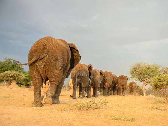 남아프리카공화국의 보물인 '크루거 국립공원'에서는 동물도 보고 럭셔리 리조트에 묵는 이색 체험을 할 수 있다. '캠프 자블라니'에서는 자블라니를 비롯한 코끼리 15마리가 살고 있다. [사진 캠프 자블라니]