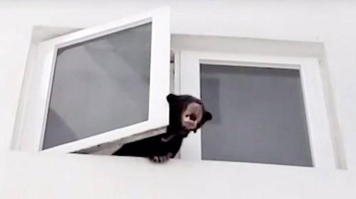 쿠알라룸푸르 아파트서 발견된 새끼 곰. [트위터 캡처=연합뉴스]