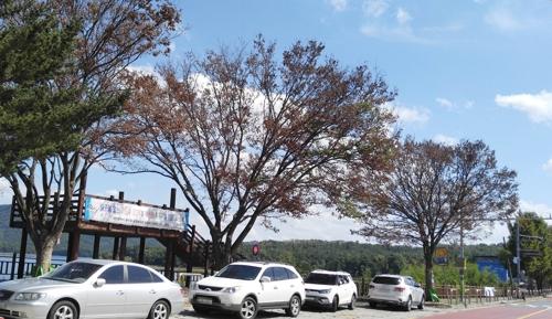 지난 7월 말라죽은 대청호 인근 느티나무 3그루. [연합뉴스]