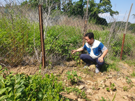 지난 12일 경기도 파주시 민통선 내 도라지밭. 야생 멧돼지가 뚫어 놓은 철조망을 농민이 설명하고 있다. 전익진 기자