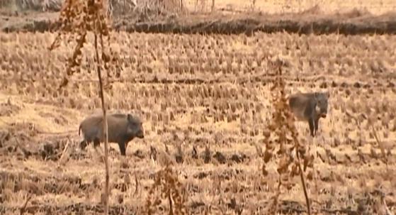 경기도 파주시 진동면 민통선 농경지에 나타난 야생 멧돼지. [사진 조봉연씨]
