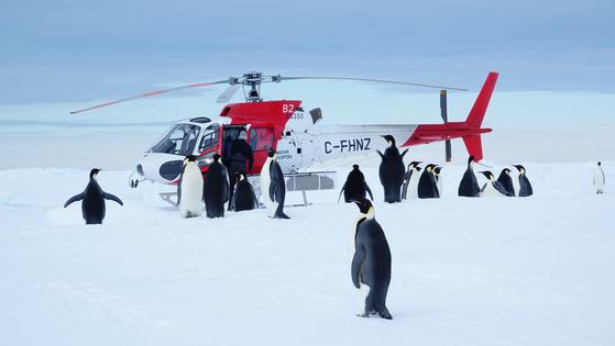 남극대륙 장보고 기지 인근 케이프 워싱톤의 황제펭귄. 요란한 헬기소리에도 놀라지 않고 오히려 호기심을 가지고 접근한다. [사진 극지연구소]