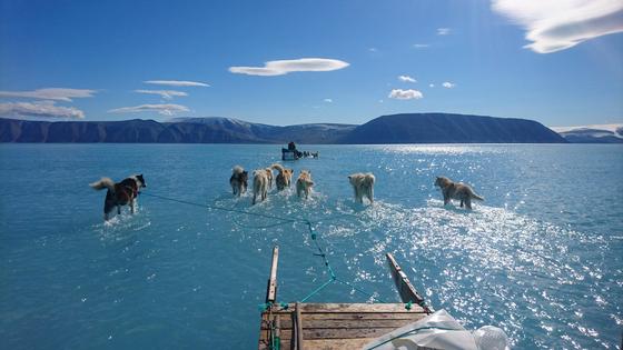 그린란드 빙하 표면이 녹으면서 물 위에서 개 썰매를 타는 모습. [사진 스테판 올슨 트위터]