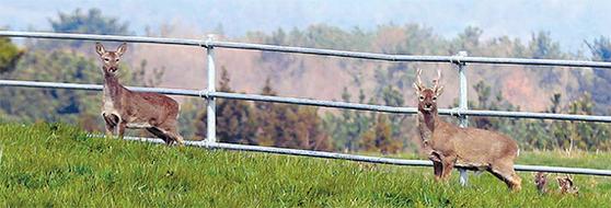 제주도는 최근 노루 개체 수가 줄자 6년만에 유해동물 지정을 해제했다. 사진은 한라산에서 제주시내 한 농장까지 내려온 노루들. [뉴시스]
