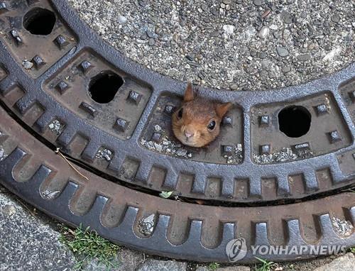 지난 20일(현지시간) 맨홀에 머리가 끼여 움직이지 못하는 신세가 된 다람쥐. [DPA=연합뉴스]