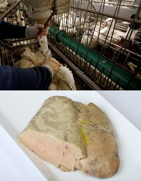 푸아그라를 얻기 위해서는 '가바주'라는 비윤리적인 방법을 거치게 된다. 거위를 가두고 목에 호스를 꽂아 억지로 먹이를 주입한다. 이 과정에서 내장이 터지기도 한다. 이렇게 얻은 거위 간은 1.5kg~2kg까지 커진다. [REUTERS=연합뉴스, 중앙포토]