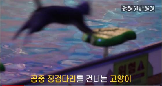 서울어린이대공원에서 민간 업체가 진행하는 동물 공연 '애니멀 프렌즈' 중 고양이가 징검다리를 점프해 건너는 장면. 동물보호단체를 중심으로 고양이 학대 논란이 불거졌다. [사진 동물해방물결 유튜브 영상 캡쳐]