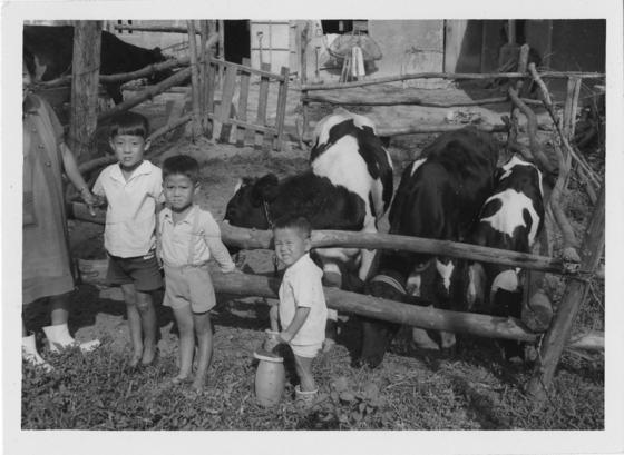 6.25 직후 미국 NGO인 헤퍼 인터내셔널이 보내준 젖소와 함께한 한국 어린이들. [사진 헤퍼 인터내셔널]