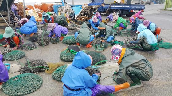 충남 태안군 고남면 고남7리 만수동어촌계 주민들이 마을 공터에서 공동으로 채취한 바지락을 선별하고 있다. [사진 태안군]