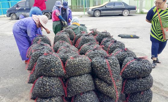 충남 태안군 고남면 만수동어촌계 주민들이 공동으로 채취한 바지락. [사진 태안군]