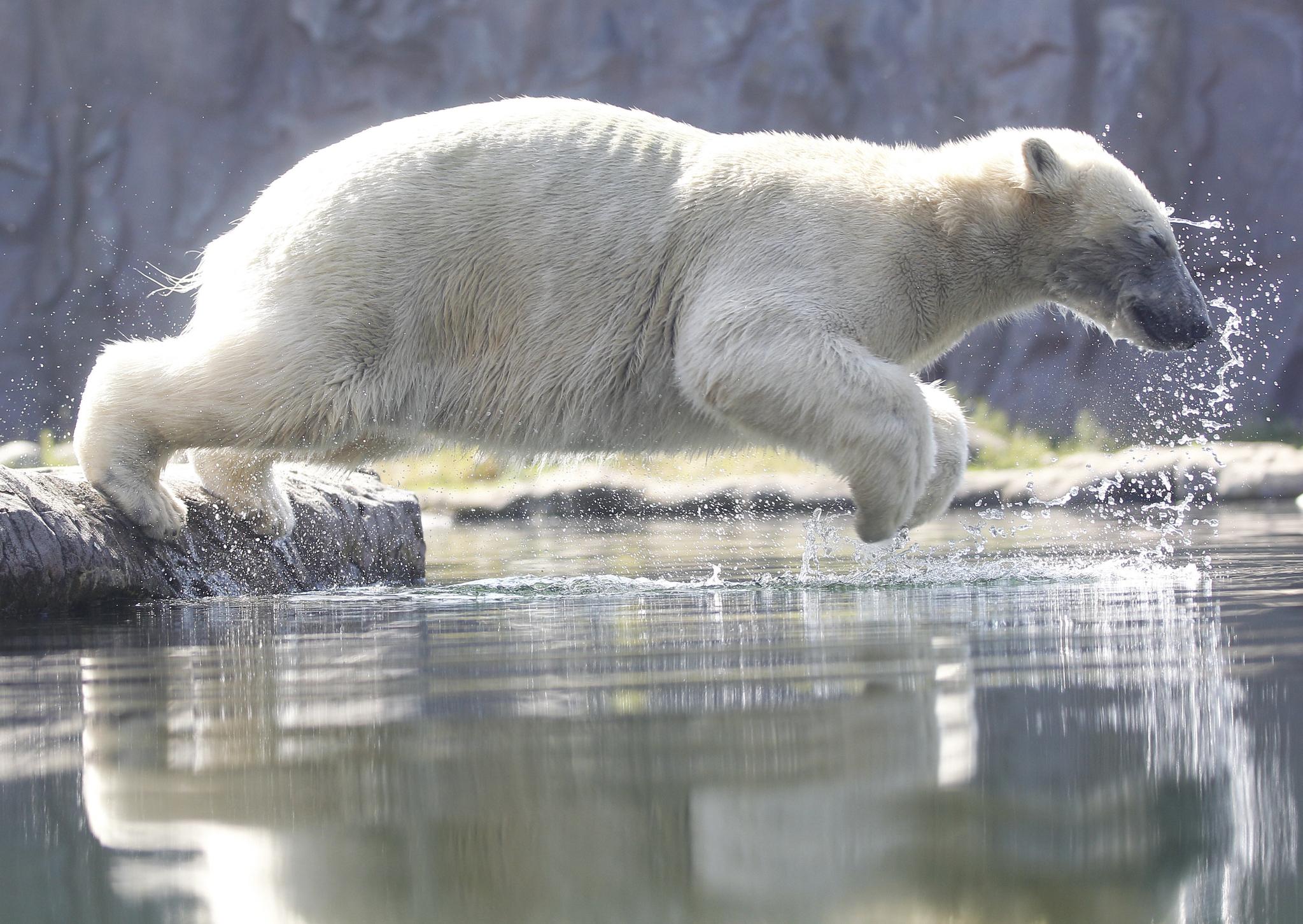 25일(현지시간) 독일 겔센키르헨 동물원에서 북극곰이 물속으로 뛰어들고 있다.독일은 섭씨 40도까지 올라가는 폭염에 직면하고 있다.[AP=연합뉴스]