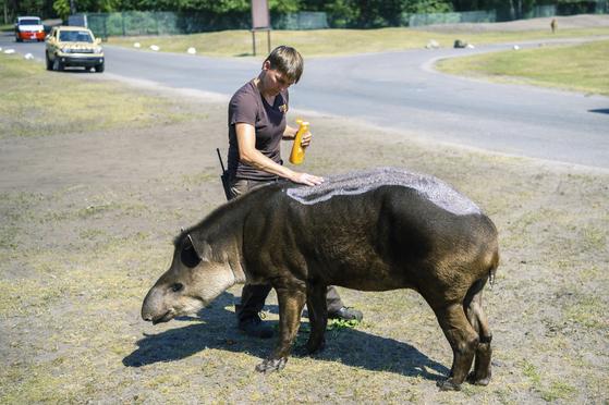독일 호덴하겐의 한 동물원 직원이 26일 아메리카 테이퍼 등에 선크림을 발라주고 있다.[AP=연합뉴스]