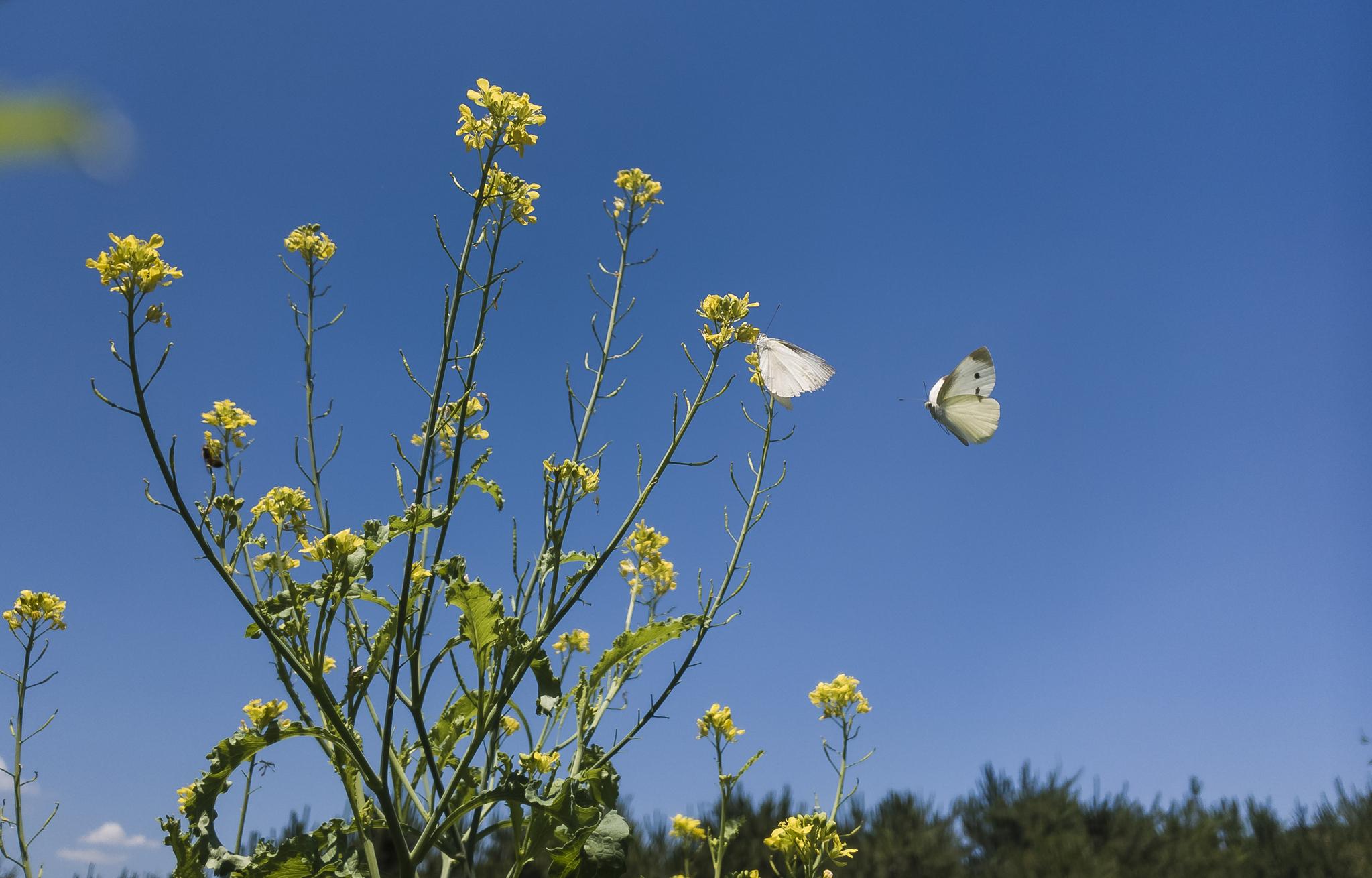 청 겨자채 꽃