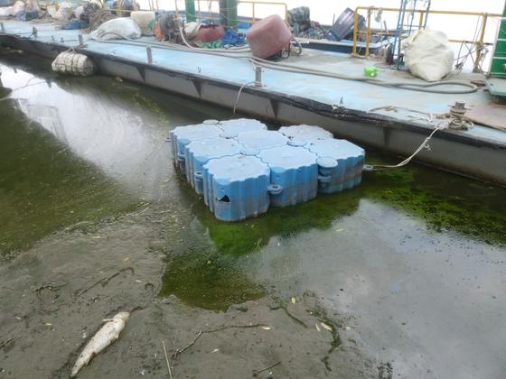 27일 오후 경기도 고양시 한강 행주 나루터. 전날부터 녹조가 발생한 가운데 죽은 물고기가 물 위에 떠 있다, [사진 행주어촌계]
