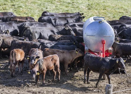 블랙앵거스 소들이 26일 독일 프랑크푸르트의 한 목장 물탱크 주변에서 목을 축이고 있다.[AP=연합뉴스]