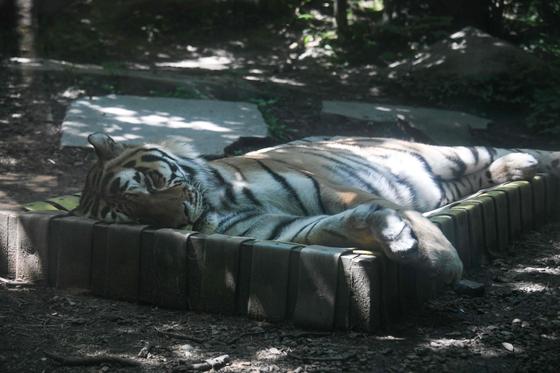 시베리아 호랑이가 26일 프랑스 뮐루즈 동물원에서 낮잠을 자고 있다.[AFP=연합뉴스]