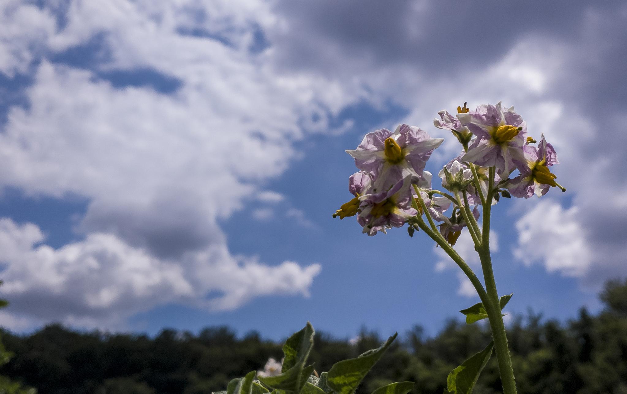 자주감자 꽃