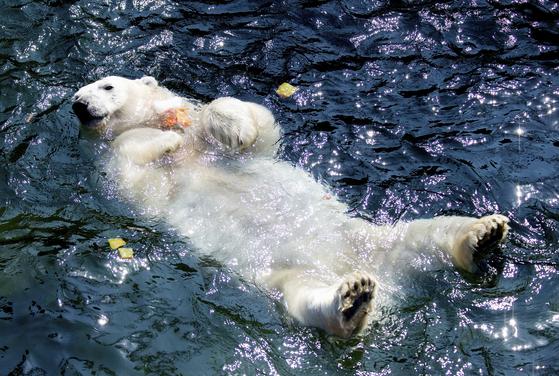 북극곰이 26일 독일 하노버 동물원에서 물놀이를 하고 있다.[AP=연합뉴스]