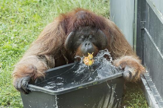 오스트리아 빈의 쉔부른 동물원 오랑우탄이 목을 축이고 있다.[AP=연합뉴스]
