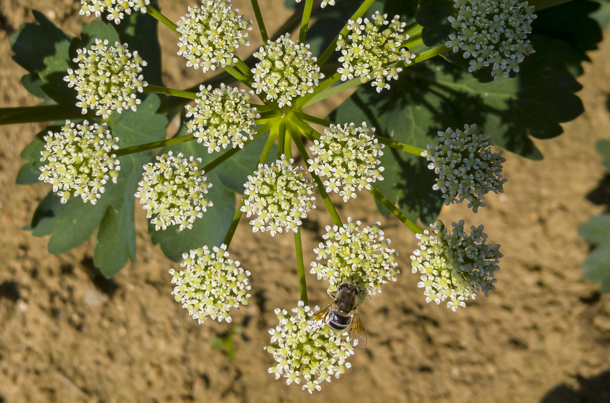 방풍나물 꽃
