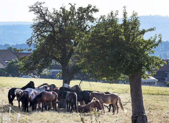 26일 독일 프랑크푸르트의 인근의 한 마을에서 아이슬란드 말들이 나무 그늘에 옹기종기 모여있다. [AP=연합뉴스]
