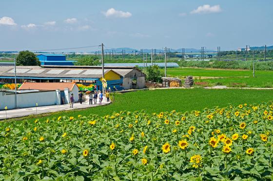 논산평야 한가운데 틀어박힌 충남 논산 돌고개솟대마을. 초록의 논이 전부였던 이곳이 해바리가 가득한 꽃 마을로 거듭났다. 3년 전부터 주민이 힘을 모아 마을을 가꾼 덕분이다.