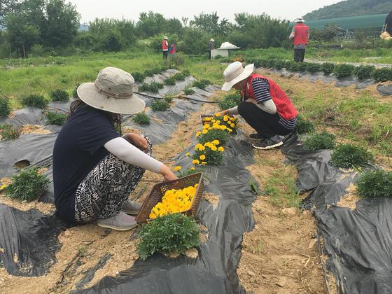 운영 초기라 아직 수확과 판매가 안정적이지는 않다. 생산한 식용꽃 메리골드는 말리는 등 가공을 통해 꽃차로 만든다. 현재까지 생산한 농산물 대부분은 농장 관계자들이 선물용으로 구매했다. 고석현 기자