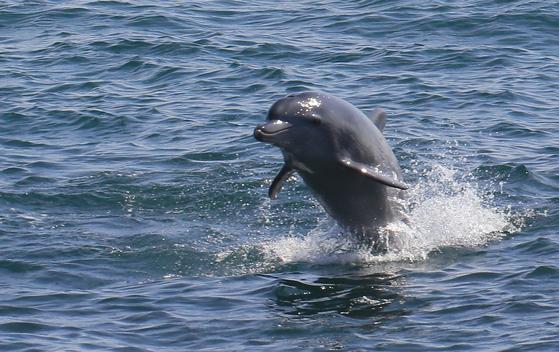 제주도 대정 앞바다에서 돌고래 한 마리가 힘차게 점프하고 있다. [연합뉴스]