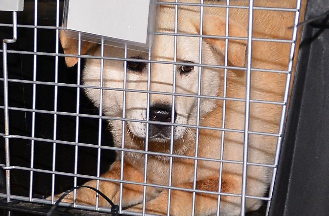 1일 오후 부산 북구 구포시장 내 가축시장에서 동물보호단체들에 구조된 반려동물이 앞으로 보고 있다.[뉴스1]