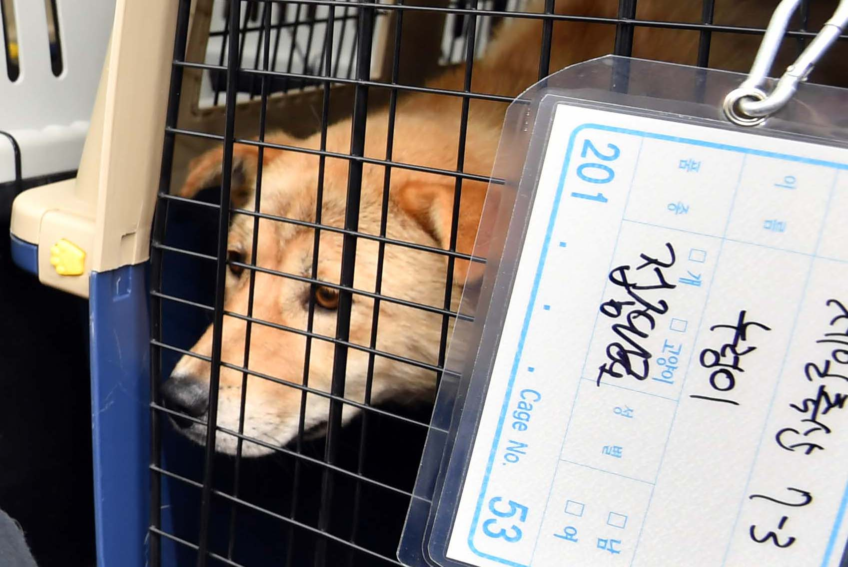 1일 오후 부산 북구 구포가축시장에서 동물보호단체 회원들이 도축 위기서 구출한 반려동물이 보호소로 옮기기 전 트럭에 실려있다. 이날 구조된 한 반려동물의 이름은 '누렁이'였다. [뉴시스]
