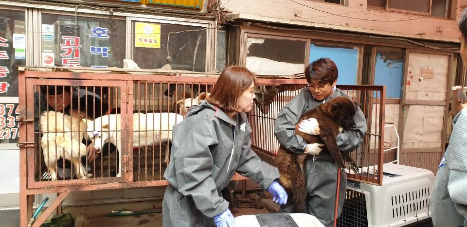 1일 오후 부산 북구 구포시장 내 가축시장(개시장)에서 동물보호단체들이 개들을 구조하고 있다. [부산동물학대방지연합=연합뉴스]