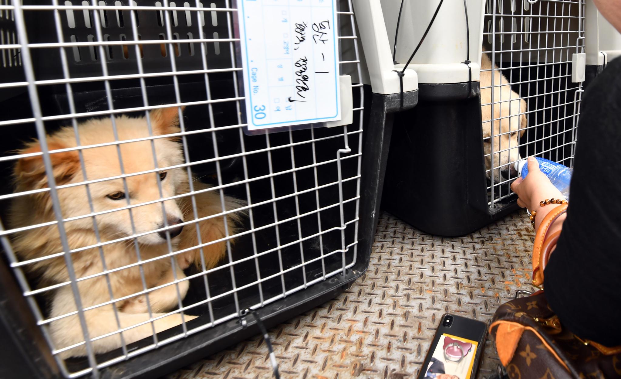 1일 오후 부산 북구 구포가축시장에서 동물보호단체 회원이 도축 위기서 구출된 동물에게 물을 주고 있다.[뉴시스]