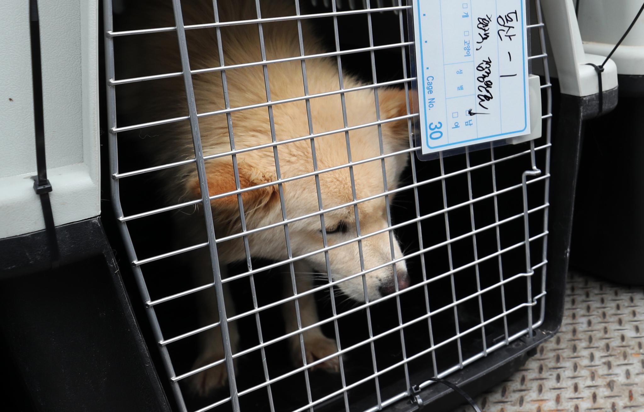 1일 오후 부산 북구 구포시장 내 가축시장(개시장)에서 동물보호단체들에 의해 구조된 반려동물. 구조되었지만 두려운 듯 고개를 들지못하고 있다. [연합뉴스]