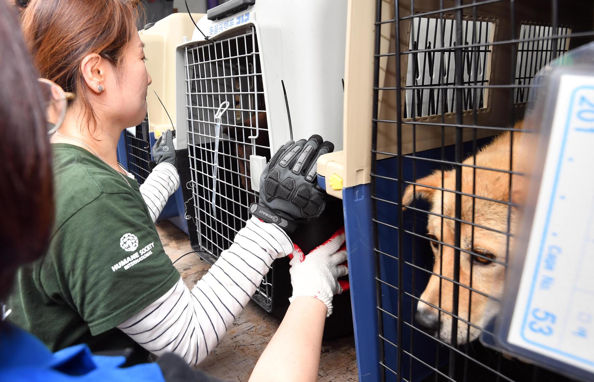 1일 오후 부산 북구 구포가축시장에서 동물보호단체 회원들이 도축 위기서 구출된 동물들을 보호소로 옮기기 위해 트럭에 싣고 있다. [뉴시스]