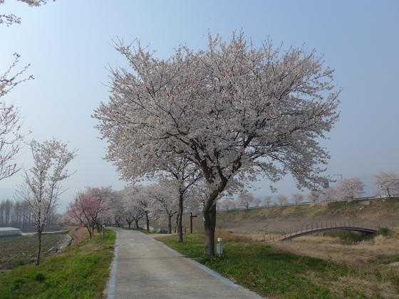 개화 당시 구례 왕벚나무의 모습. [국립생태원 제공]
