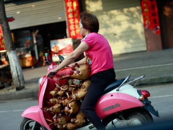 중국의 한 여성이 도살한 개를 싣고 이동하고 있다. 중국 남부의 광시성 위린시는 개고기 축제를 개최한다. 개를 도살하는 과정이 비윤리적인 경우가 많아 동물보호단체의 비난을 받고 있다. [AP]
