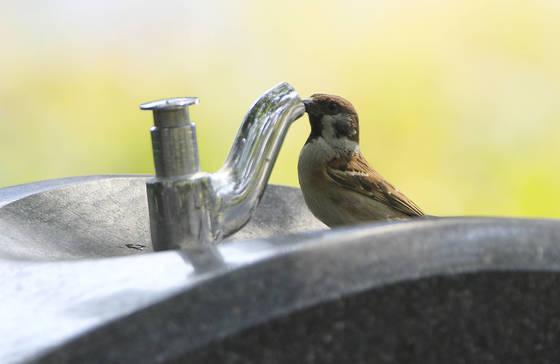지난달 29일 대구 국채보상운동기념공원에서 참새 한 마리가 수도꼭지에 부리를 대고 물을 마시고 있다. [프리랜서 공정식]