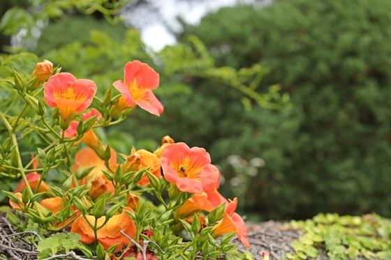 낚싯줄 같이 늘어진 줄기에 매달린 능소화의 꽃대가 특색 있다. 굽어진 꽃대 하나하나가 모두 등잔대에 올라앉아 하늘을 바라보는 모양이다. 사진은 베어트리파크 수목원 관람로에 활짝 핀 능소화. [사진 베어트리파크]