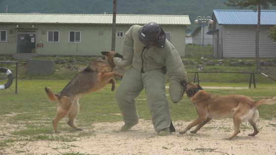 1일 춘천 육군 군견훈련소에서 군견병 통제를 받은 군견이 공격 훈련을 하고 있다. [영상캡처=강대석 기자]