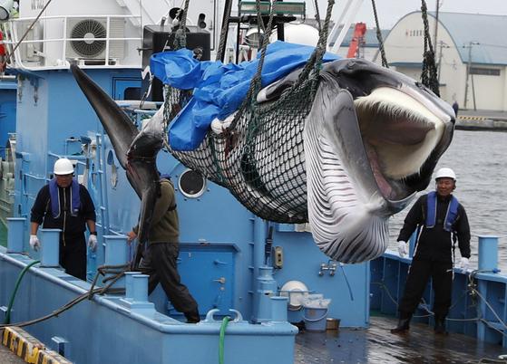 일본이 고래잡이를 31년 만에 재개한 지난 1일 밍크고래 한 마리가 잡혀 홋카이도의 구시로항에 내려지고 있다. [로이터=연합뉴스]