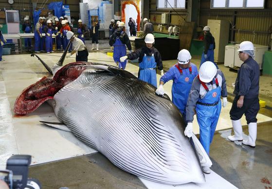 지난 1일 일본 홋카이도 구시로항으로 끌어올려진 밍크고래가 해체되기 직전에 놓여 있다. [AP=연합뉴스]