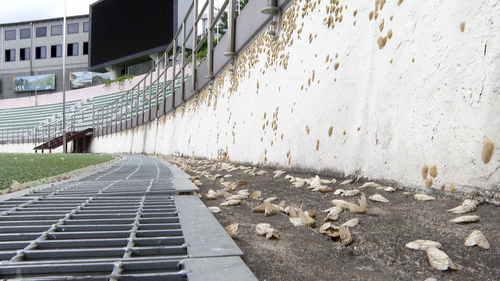 충북 단양이 재난영화를 방불케 하는 매미나방 떼의 출몰로 방제 전쟁을 치르고 있다. 사진은 매미나방 떼 출몰로 운영이 중단된 단양 공설운동장. [연합뉴스]