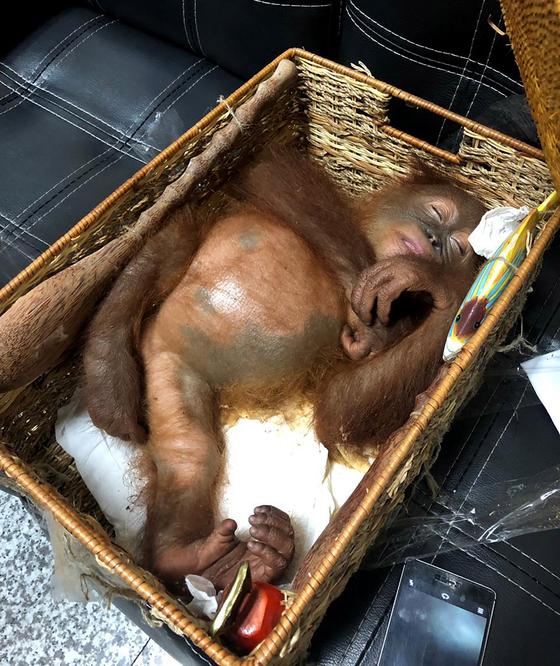 러시아인이 밀반출하려던 새끼 오랑우탄. [EPA=연합뉴스]