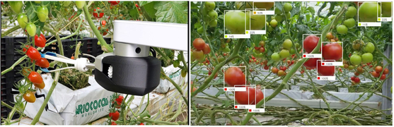 루트AI의 '버고1'은 인공지능ㆍ빅데이터를 활용해 어느 토마토가 충분히 익었는지 가려내고(사진 오른쪽), 로봇 팔을 이용해 상처를 내지 않고 수확한다(왼쪽). [사진 루트AI]